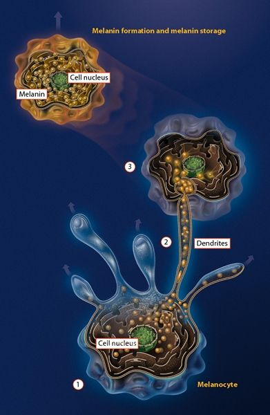 melanin storage in melanocyte