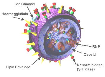 H1N1 virus (Swine Flu)